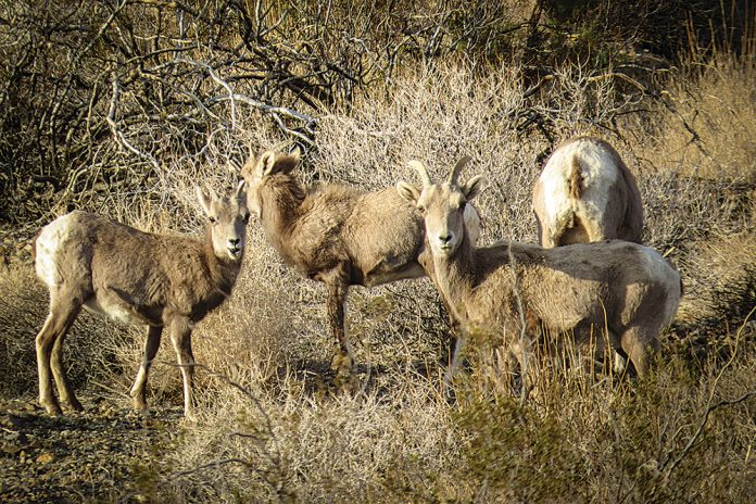 Ever-elusive big horn sheep graze